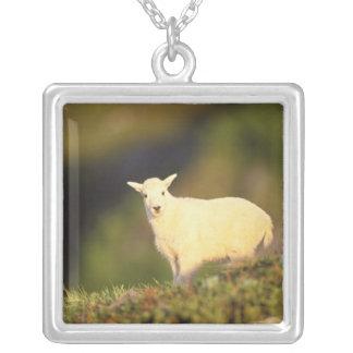 chèvre de montagne, Oreamnos américanus, enfant Pendentif Carré