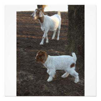 Chèvre de triplet de bébé photographe
