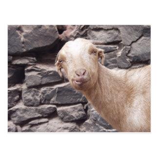 Chèvre drôle carte postale