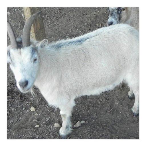 Chèvre femelle de pigmy  tirage photo