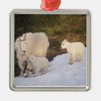 chèvres de montagne, Oreamnos américanus, mère et Ornement Carré Argenté