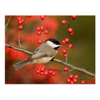 Chickadee de Caroline sur le buisson commun de Carte Postale