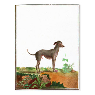 Chien - chien chauve carte postale