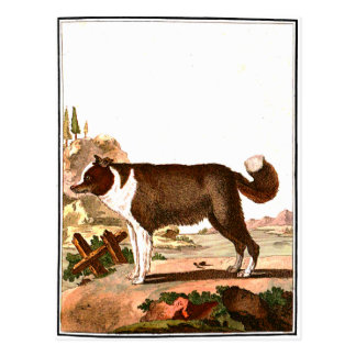 Chien - chien de berger islandais cartes postales