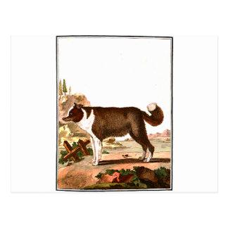 Chien - chien de berger islandais carte postale