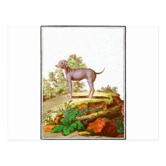 Chien - chien turc carte postale