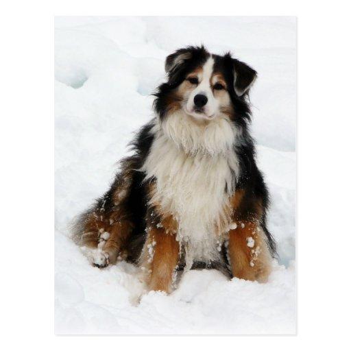Chien de berger australien dans la neige carte postale