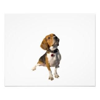 Chien mignon de beagle impression photographique