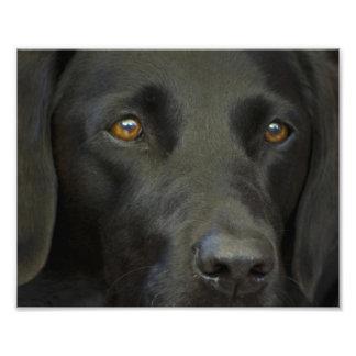 Chien noir de Labrador Photographe