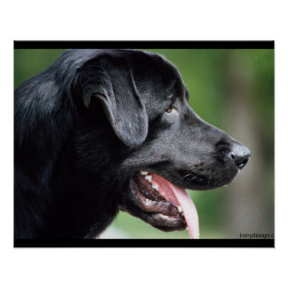 Chien noir de Labrador Poster