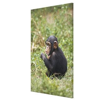 Chimpanzé de bébé (troglodytes de casserole) toiles