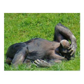 Chimpanzé de détente - carte postale