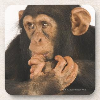 Chimpanzé (troglodytes de casserole). Jeune Sous-bock