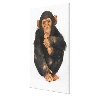 Chimpanzé (troglodytes de casserole). Jeune Toiles