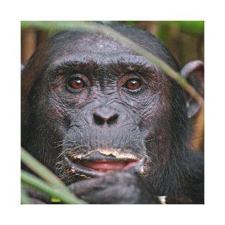 Chimpanzé (troglodytes de casserole) piaulant par toiles