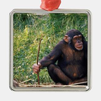 Chimpanzé utilisant le bâton comme outil à obtenir ornement carré argenté