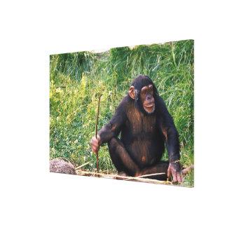 Chimpanzé utilisant le bâton comme outil à obtenir toiles