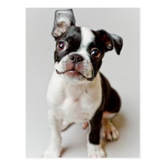 Chiot de chien de Boston Terrier Cartes Postales