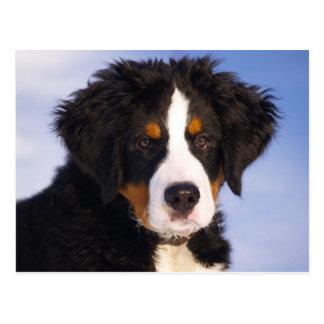 Chiot de chien de montagne de Bernese Cartes Postales