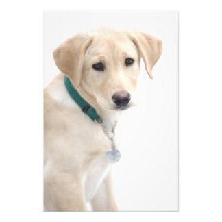 Chiot de labrador retriever, M.) Impression Photographique