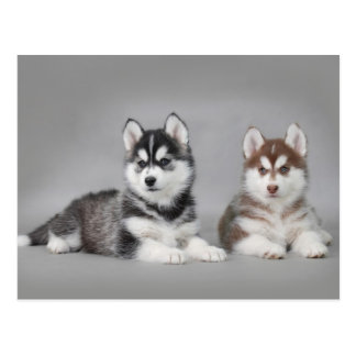 Chiots de chien de traîneau sibérien cartes postales