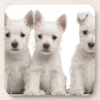 Chiots des montagnes occidentaux de Terrier (7 Sous-bocks
