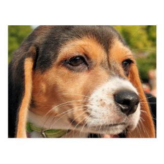 Chloe - beagle Photo-19 Carte Postale
