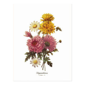Chrysanthèmes Carte Postale