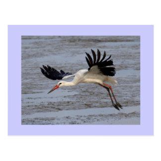 Cigogne blanche carte postale