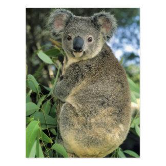 Cinereus de koala, de Phascolarctos), mis en dange Cartes Postales