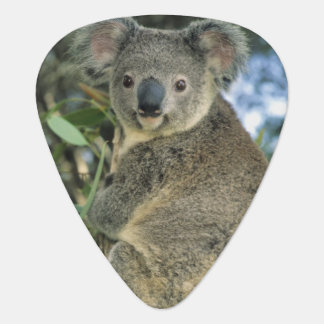 Cinereus de koala, de Phascolarctos), mis en Médiators