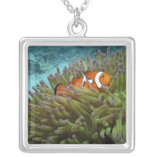 Clownfish occidental (ocellaris d'Amphiprion), Pendentif Carré