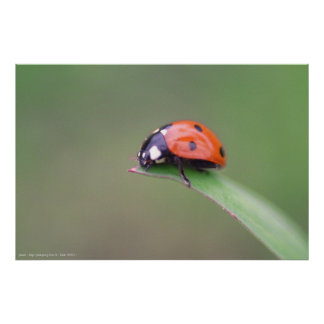 coccinelle posters