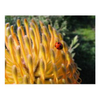 Coccinelle sur le Protea de Pincusion Carte Postale