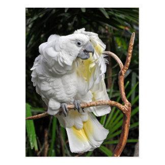Cockatiel blanc mignon carte postale