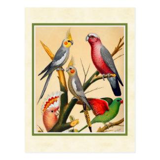 Cockatiels vintages et cacatoès cartes postales