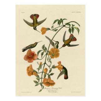 Colibri de palétuvier carte postale
