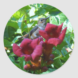 Colibri et fleur de trompette rouge sticker rond