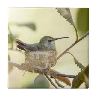 Colibri femelle sur son nid carreau