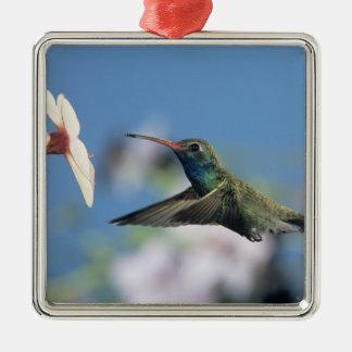 colibri Large-affiché, Cynanthus 2 Ornement Carré Argenté