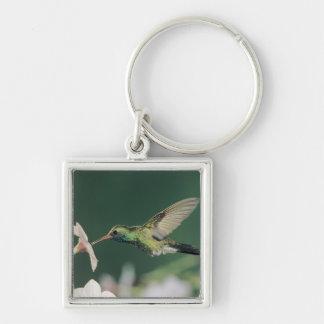 colibri Large-affiché, latirostris de Cynanthus, Porte-clé Carré Argenté