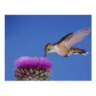 colibri Large-coupé la queue, Selasphorus 3 Carte Postale