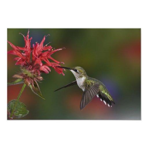 Colibri Rubis-throated femelle alimentant dessus Photo Sur Toile