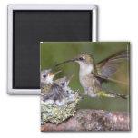 colibri Rubis-throated (femelle) avec des jeunes Magnets