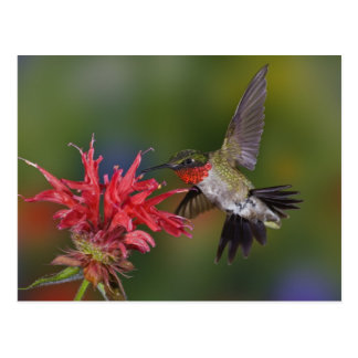 Colibri Rubis-throated masculin alimentant dessus Carte Postale