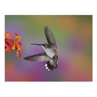 Colibri Throated rouge femelle en vol, 2 Carte Postale