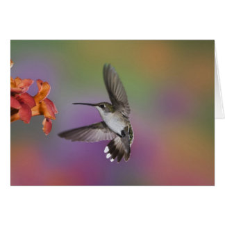 Colibri Throated rouge femelle en vol, 2 Cartes