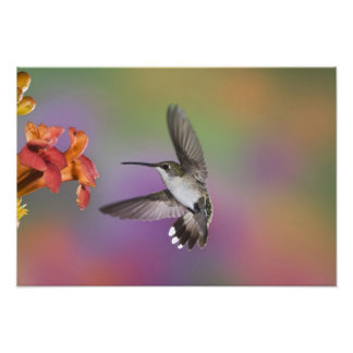 Colibri Throated rouge femelle en vol, 2 Photographe