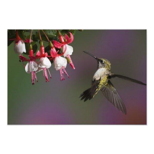 Colibri throated rouge femelle en vol. photo