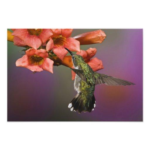 Colibri Throated rouge femelle en vol, Photo